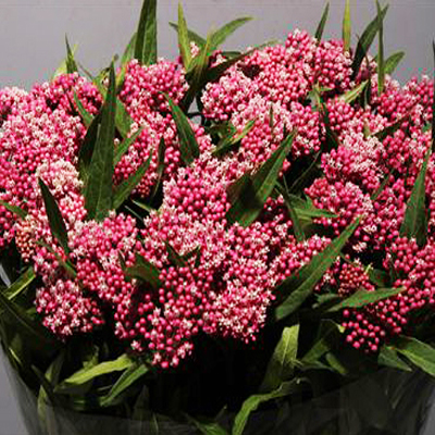 Asclepias Cinderella for Weddings, Events and DIY Brides. Wedding and Event Florist in Fairfield NJ
