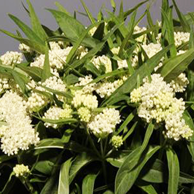 Asclepias Incarnata for Weddings, Events and DIY Brides. Wedding Florist in Fairfield, NJ