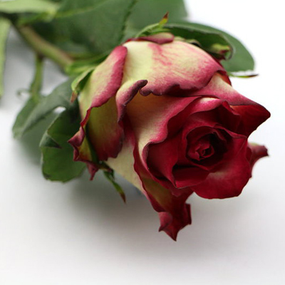 Absurda Roses Wholesale to the Public, DIY Weddings and Events