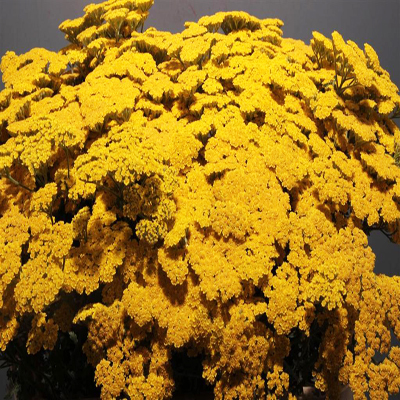 Yarrow Achillea Yellow for Weddings, Events and DIY Brides. Wedding Florist in Fairfield NJ