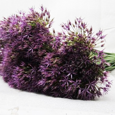 Allium Purple Rain Wholesale to the Public, DIY Weddings and Events