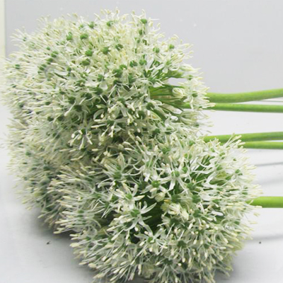 Allium White Giant Wholesale to the Public, DIY Weddings and Events