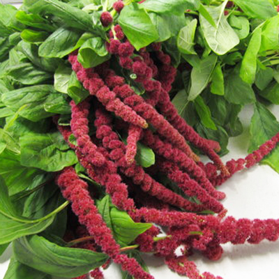 Amaranthus Hanging Red for Weddings, Events and DIY Brides. Wedding Florist Serving NYC and New Jersey