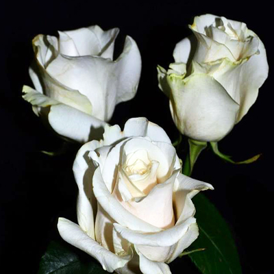 Amelia Roses Wholesale to the Public, DIY Weddings and Events
