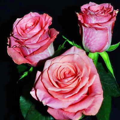 Amsterdam Roses Wholesale to the Public, DIY Weddings and Events