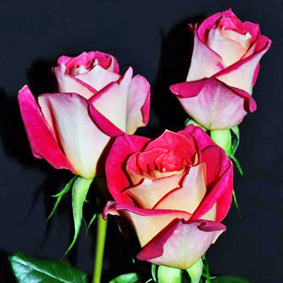 Big Fun Roses Wholesale To The Public, DIY Weddings and Events