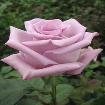 Bluebird Roses Wholesale To The Public DIY Weddings and Events