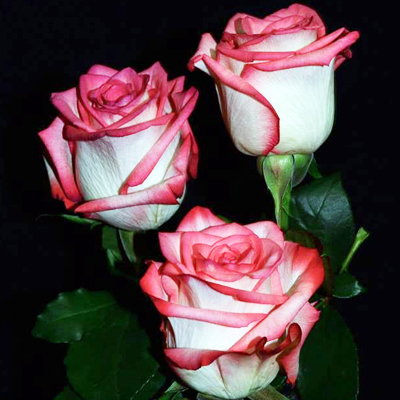 Blush Roses Wholesale to the Public, DIY Weddings and Events