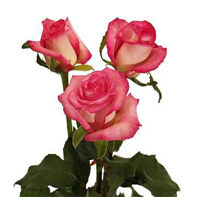 Classic Cezanne Roses Wholesale to the Public, DIY Weddings and Events