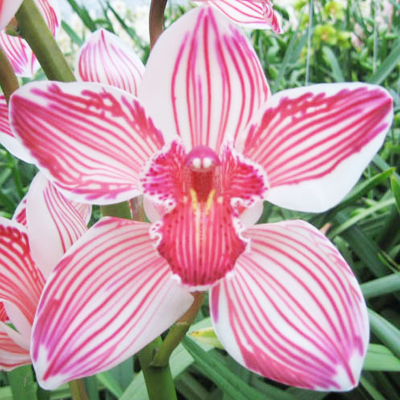 Cymbidium Dyed Red Wholesale Florist Open to the Public, DIY Weddings and Events