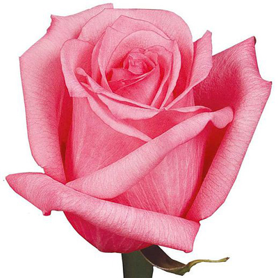 Dark Engagement Roses Wholesale to the Public, DIY Weddings and Events