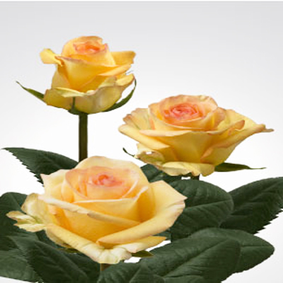 Deja Vu Roses Wholesale to the Public, DIY Weddings and Events