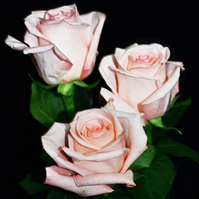 Engagement Roses Wholesale to the Public, DIY Weddings and Events