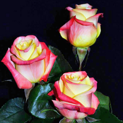 Florida Roses Wholesale to the Public, DIY Weddings and Events
