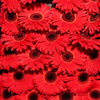 Gerbera Bellezza for Weddings Events and DIY Brides. Wedding Florist in Fairfield NJ