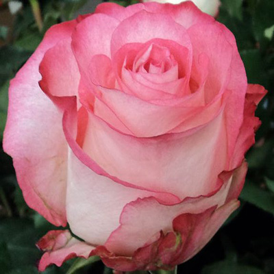 High and Candy Roses Wholesale to the Public, DIY Weddings and Events