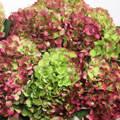 Hydrangea Green Red Antique Wholesale to the Public, DIY Weddings and Events