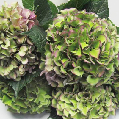 Hydrangea Purple Antique Wholesale to the Public, DIY Weddings and Events