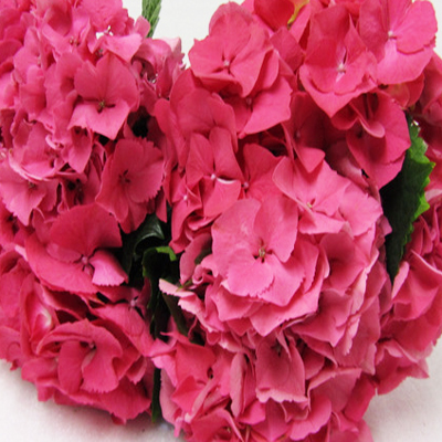 Hydrangea Glowing Alps Pink Wholesale to the Public, DIY Weddings and Events