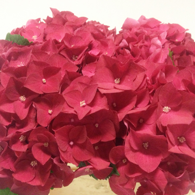 Hydrangea Hot Red Wholesale to the Public, DIY Weddings and Events