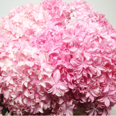 Hydrangea Inspire Pink Wholesale to the Public, DIY Weddings and Events