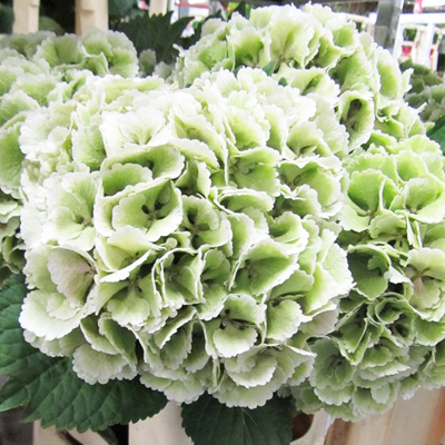 Hydrangea Lolly Pop Green Wholesale to the Public, DIY Weddings and Events