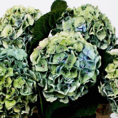 Hydrangea Antique Margarita Wholesale to the Public, DIY Weddings and Events