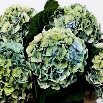 Hydrangea Antique Margarita Wholesale to the Public, DIY Weddings and Events