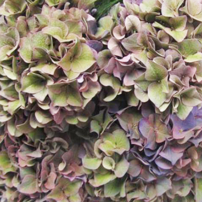 Hydrangea Antique Rodeo Purple Wholesale to the Public, DIY Weddings and Events