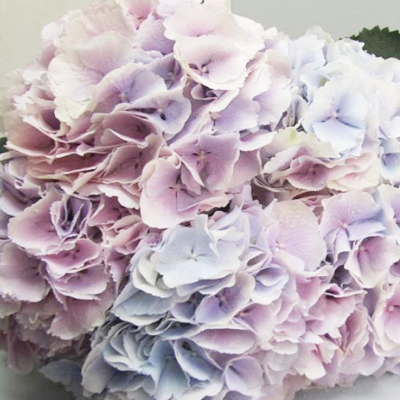 Hydrangea Verena Milka Wholesale to the Public, DIY Weddings and Events