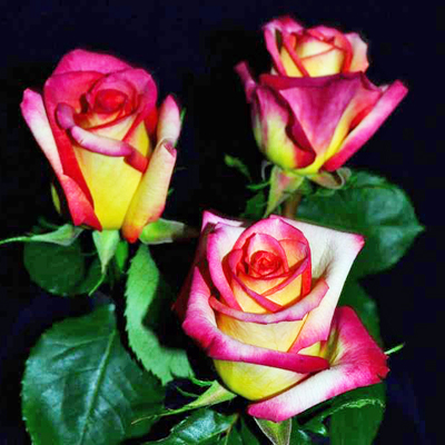 Konfetti Roses Wholesale to the Public, DIY Weddings and Events