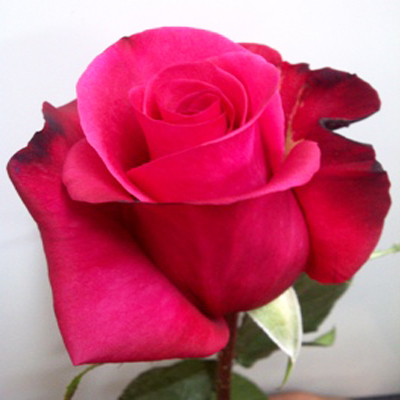 Malena Roses Wholesale To The Public DIY Weddings and Events