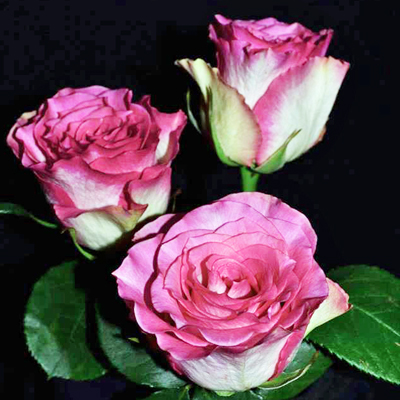 Malibu Roses Wholesale to the Public DIY Weddings and Events