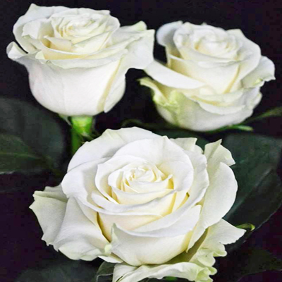 Mondial Roses Wholesale to the public Diy Weddings and Events