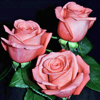 Movie Star Roses Wholesale to the Public DIY Weddings and Events