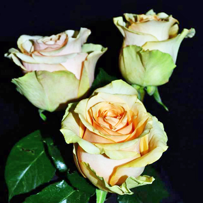 Nectarine Roses Wholesale Parices To The Public DIY Weddings and Events