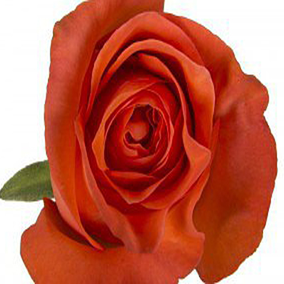 New Party Roses Wholesale to the Public, DIY Weddings and Events