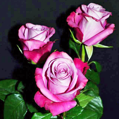 Opus Roses Wholesale prices to the Public DIY Weddings and Events