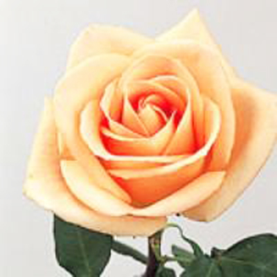 Osiana Roses Wholesale to the Public DIY Weddings and Events