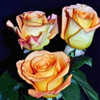 Pareo Roses Wholesale to the Public DIY Weddings and Events