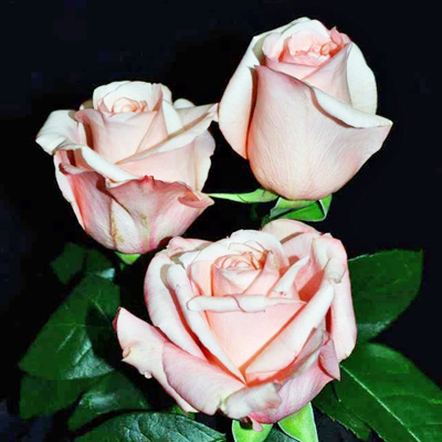 Peekaboo Roses Wholesale to the Public DIY Weddings and Events