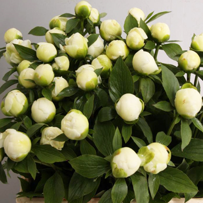 Duchess De Nemours Peony for Weddings Events and DIY Brides. Wedding Flowers in Fairfield NJ 07004