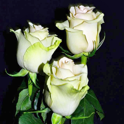 Perla Roses Wholesale to the Public, DIY Weddings and Events