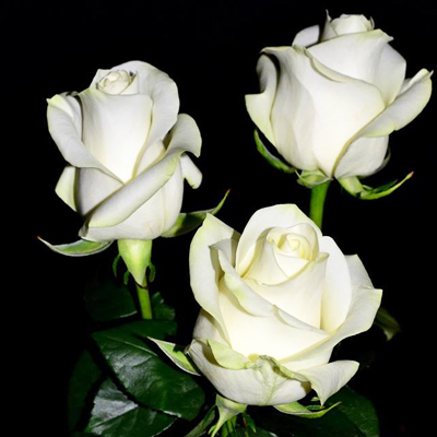 Polar Star Roses Wholesale to the Public, DIY Weddings and Events