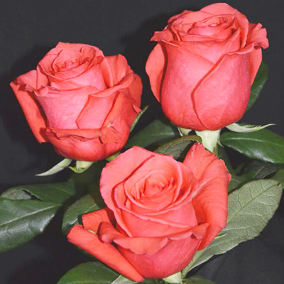 Rock Star Roses Wholesale to the Public, DIY Weddings and Events