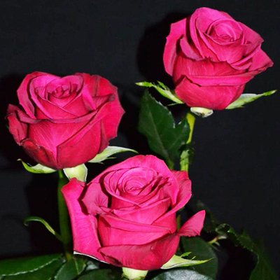 Roseberry Roses Wholesale Flowers to the Public, DIY Weddings and Events