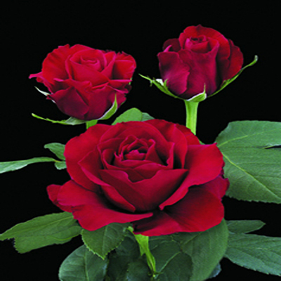 Sexy Red Roses Wholesale to the Public, DIY Wedding and Events