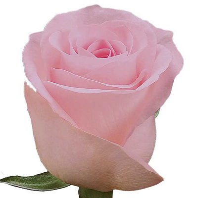 Sweet Akito Roses Wholesale to the Public, DIY Weddings and Events
