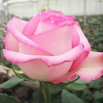 Sweet Unique Roses Wholesale to the Public, DIY Weddings and Events