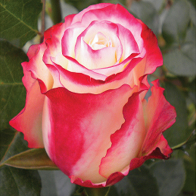 Sweetness Roses Wholesale To The Public DIY Weddings and Events